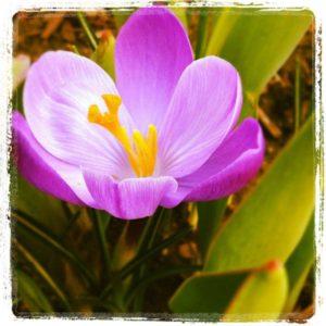crocus 2016 SAH garden